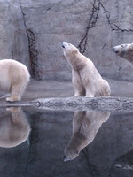 photo of polar bears at Oregon Zoo