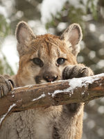 photo of cougar