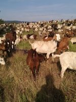 photo of goats grazing at St. Johns Prairie