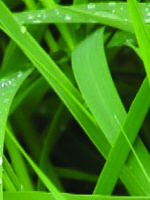 photo of dewy grass close up