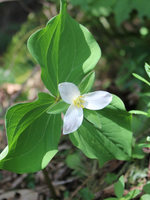 photo of trillium from Gabbert Butte