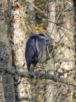 photo of great blue heron at Orenco Woods Nature Park