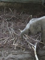 Picture of Oregon Zoo elephant consuming browse