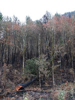 Douglas fir tree burned by forest fire fallen to the ground amid a grove of alder trees