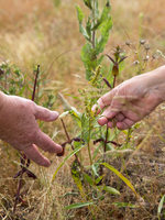 hands reaching out to touch plants in a prairie