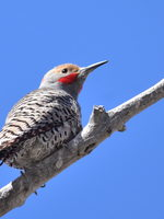 Northern flicker resting on branch.