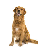 photo of pets policy golden retriever dog