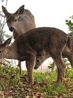 three deer by the tree