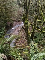 A creek flows through a thick forest of mossy trees and ferns.