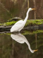 White egret in water near logs at Smith and Bybee Wetlands Natural Area