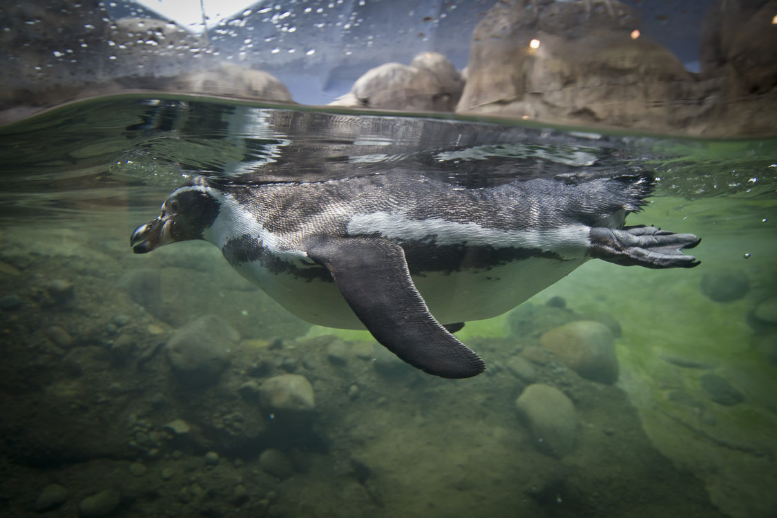 photo of a penguin swimmingin the Oregon Zoo's penguinarium