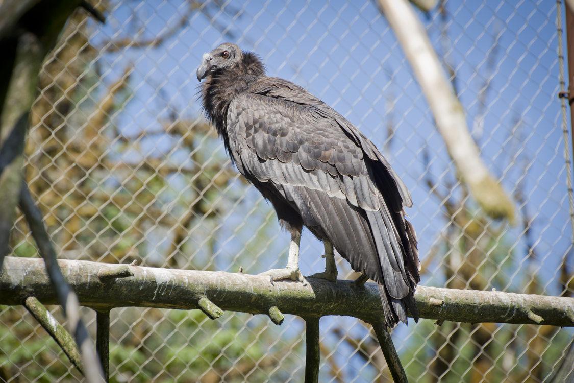 photo of a California condor at the Oregon Zoo