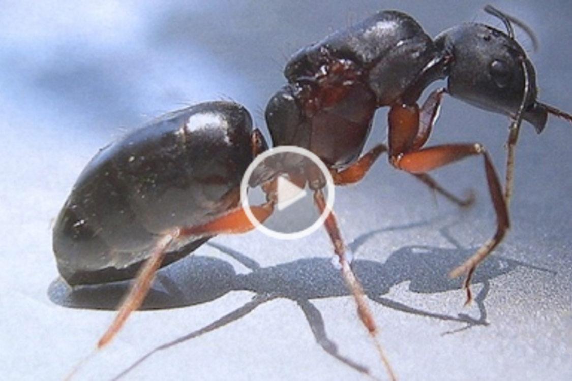 Ants Metro