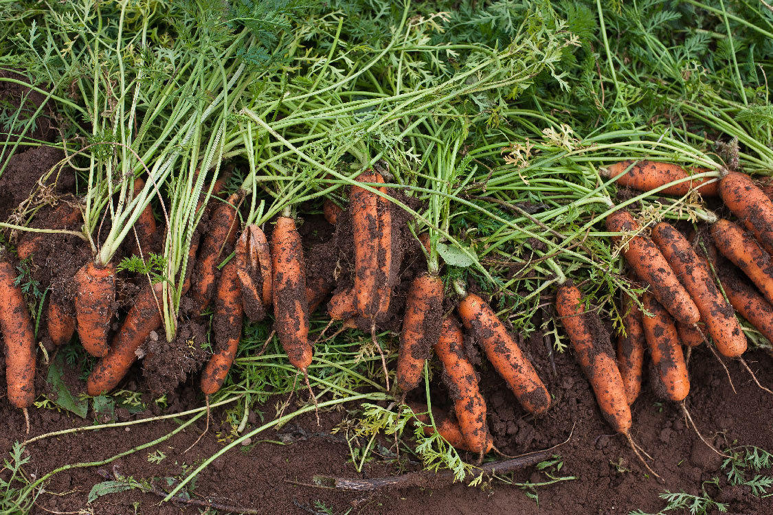 carrots at Howell Territorial Park