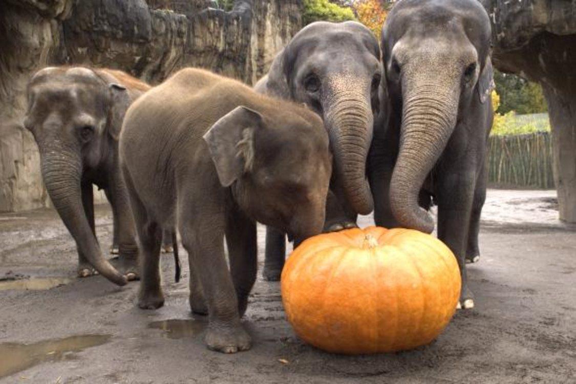photo of elephants squishing squash