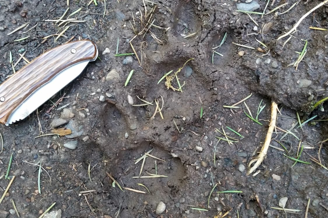 photo of bobcat track