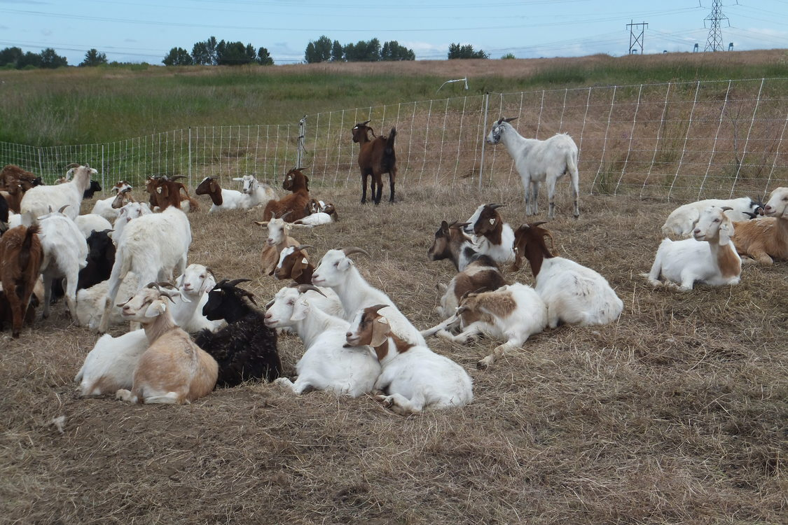 photo of goats at St. Johns Prairie