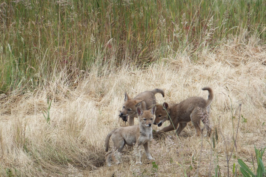 photo of coyote pups at St. Johns Prairie