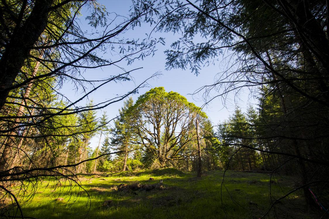 photo of released oak