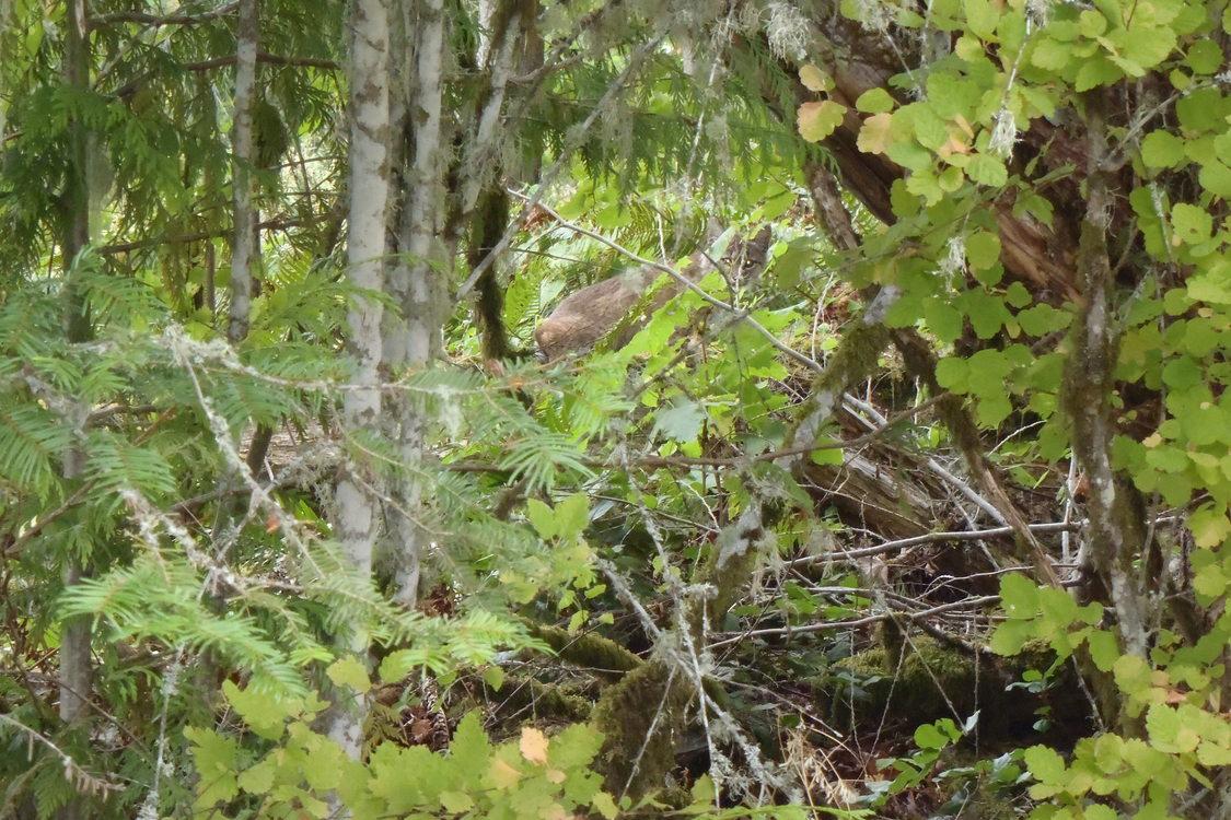 photo of juvenile bobcat at Chehalem Ridge Natural Area