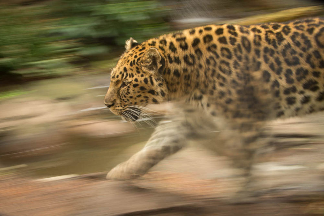 photo of Kia the Amur leopard