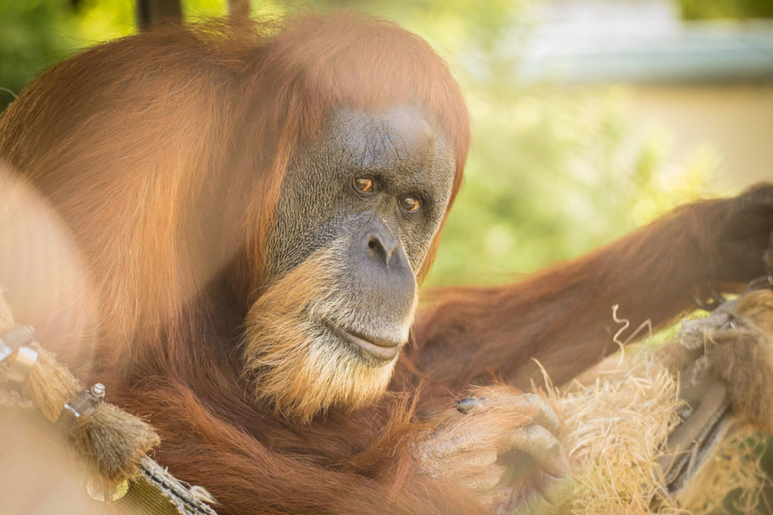 photo of Inji, Sumatran orangutan