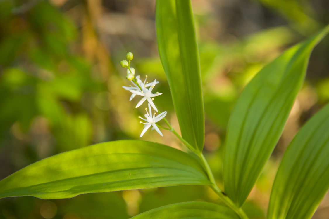 photo of false Solomon's seal at Chehalem Ridge Natural Area