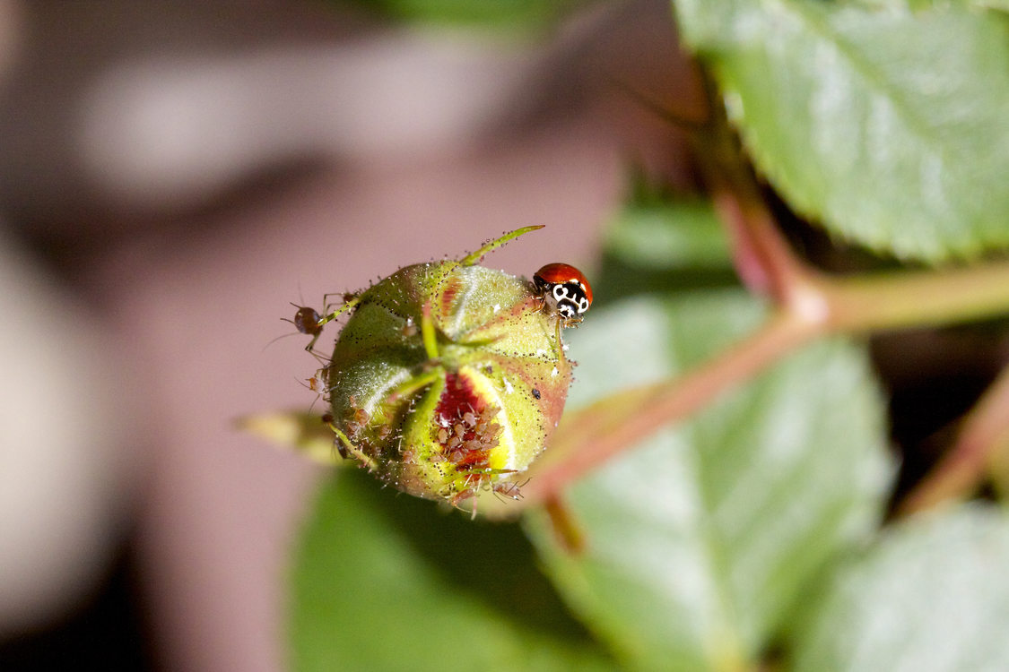 photo of ladybug in Wilsonville by Lindsay Hadley