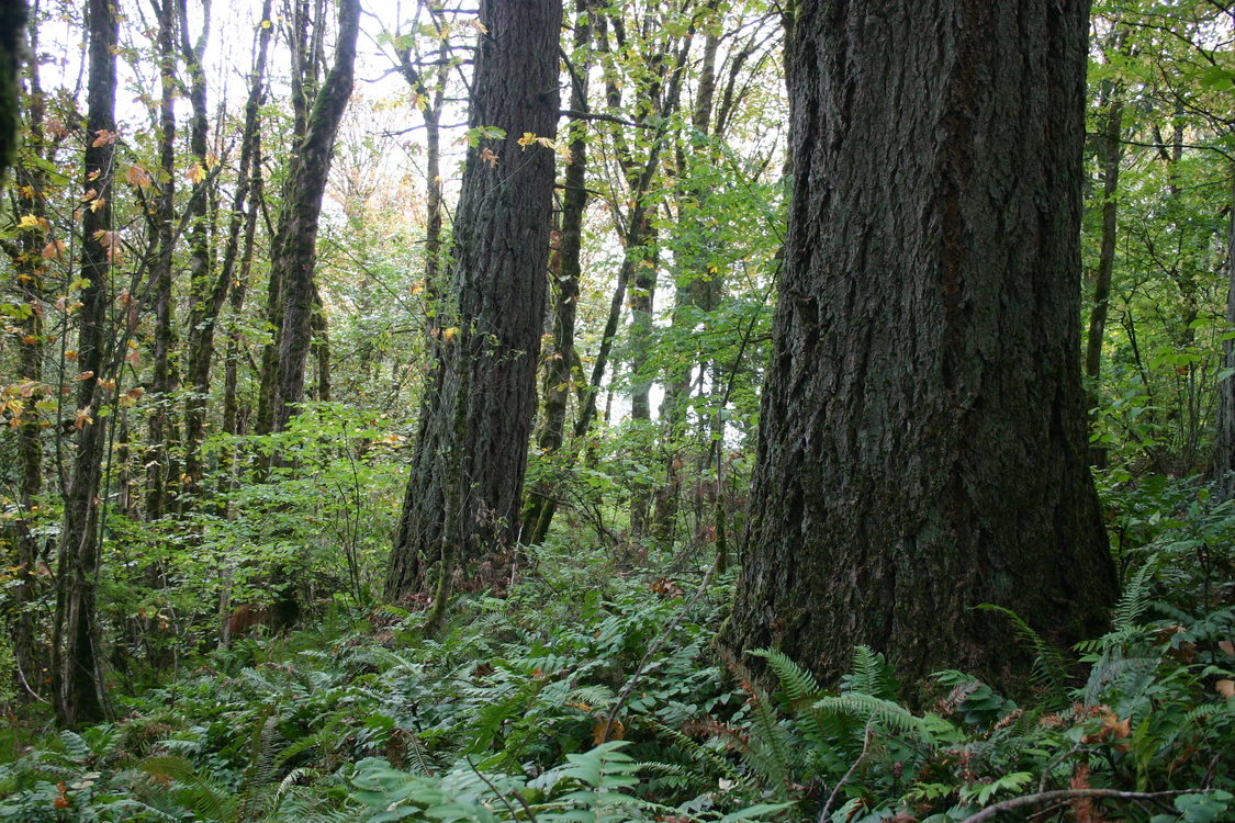 photo of old-growth forest along North Fork of Deep Creek