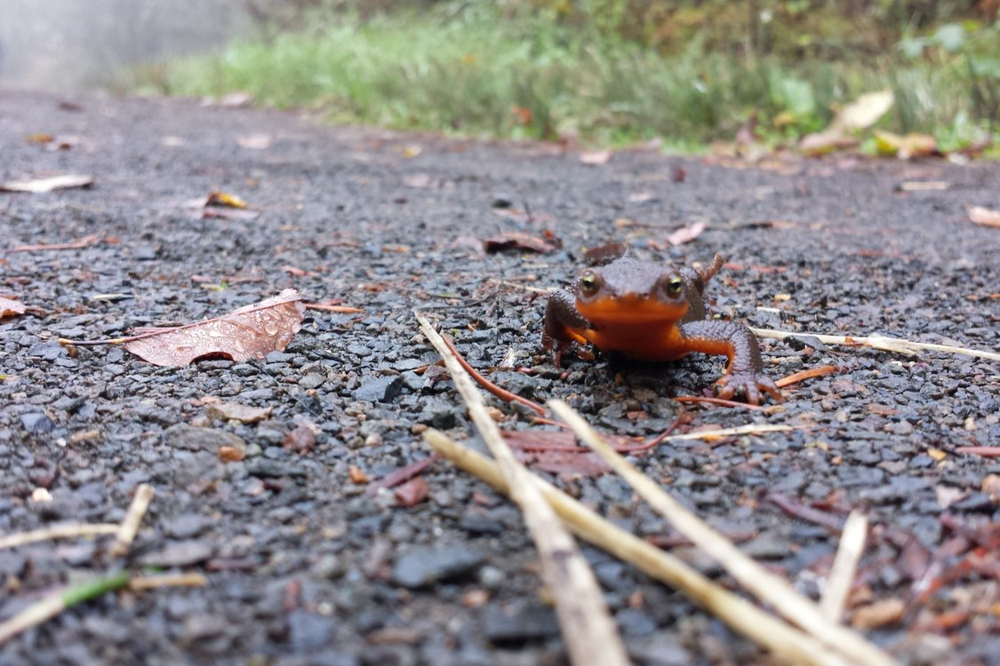 photo of rough-skinned newt at Cooper Mountain Nature Park