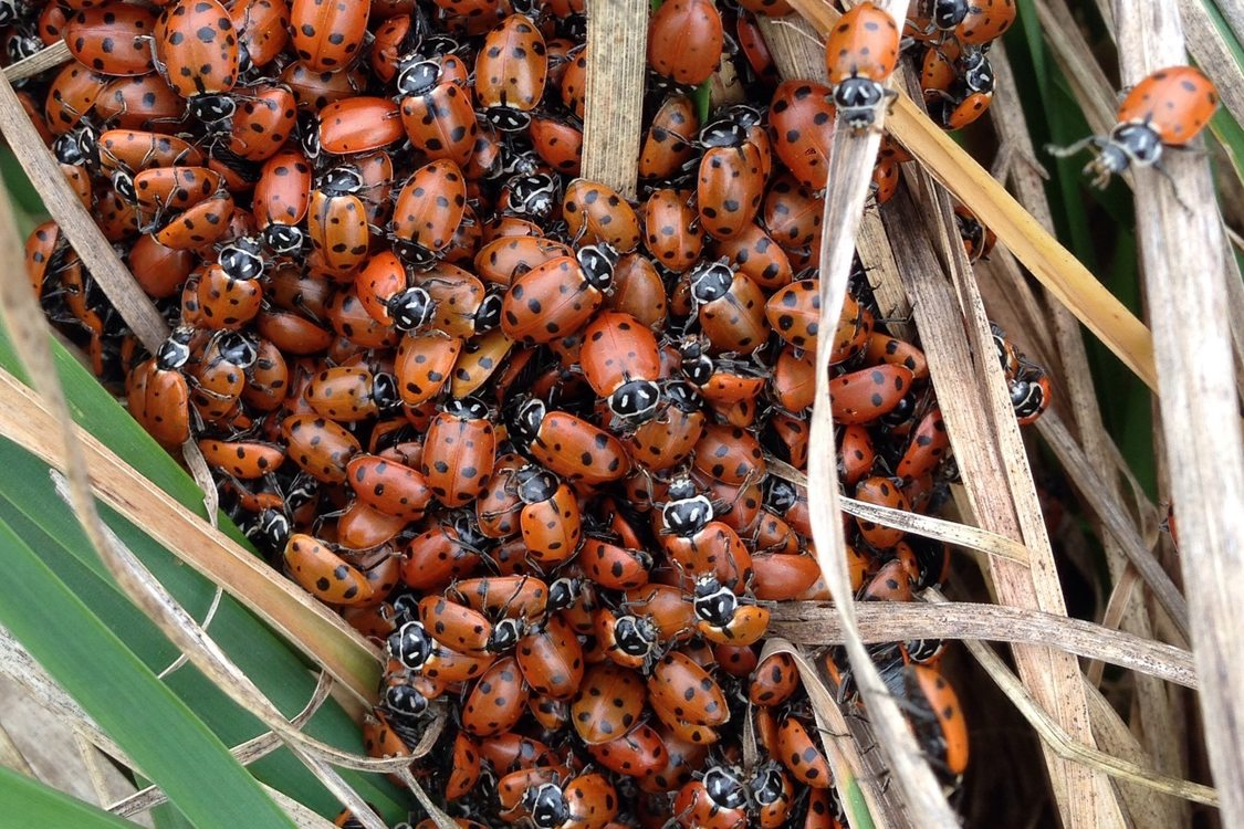 photo of ladybugs awakening from winter hibernation at North Abbey Creek Natural Area