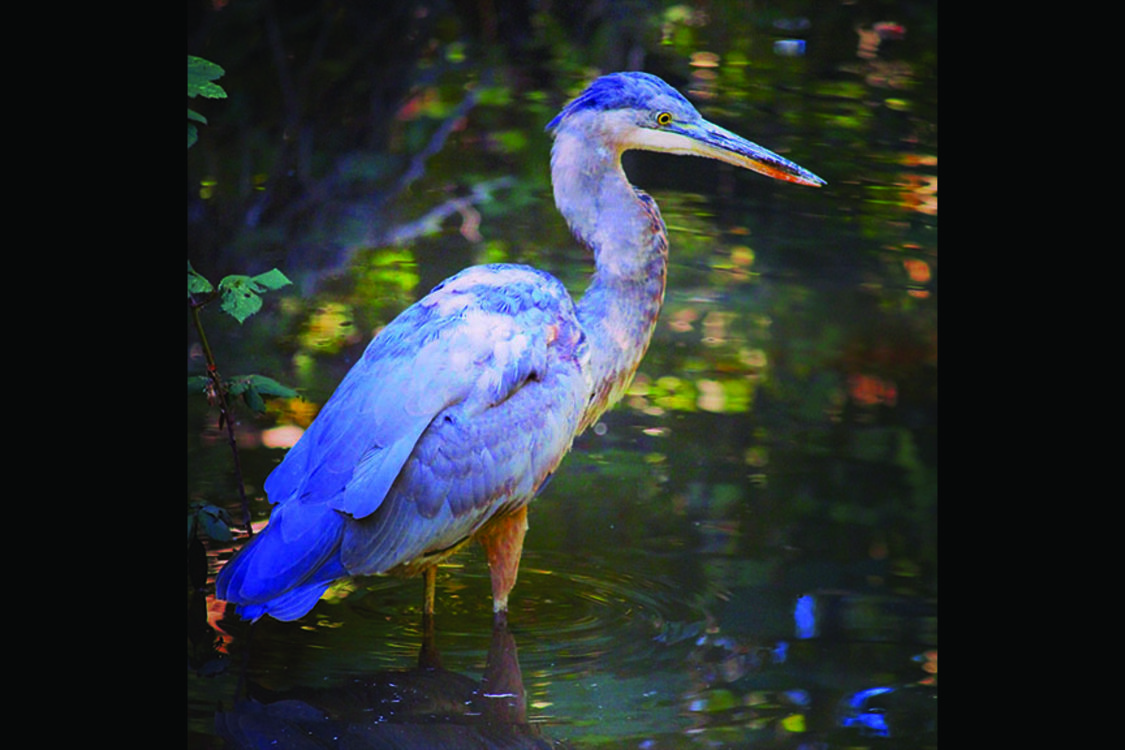 photo of great blue heron along Fanno Creek Trail