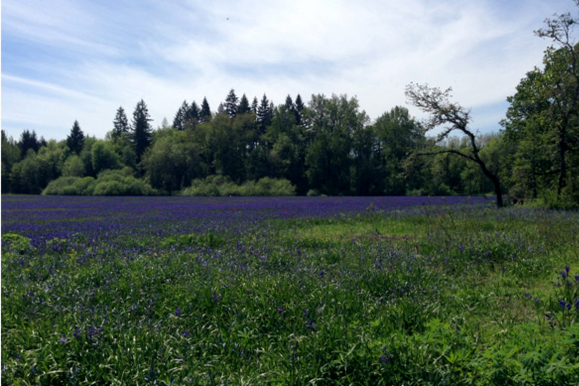 photo of natural area with purple flowers in the foreground and trees in the background