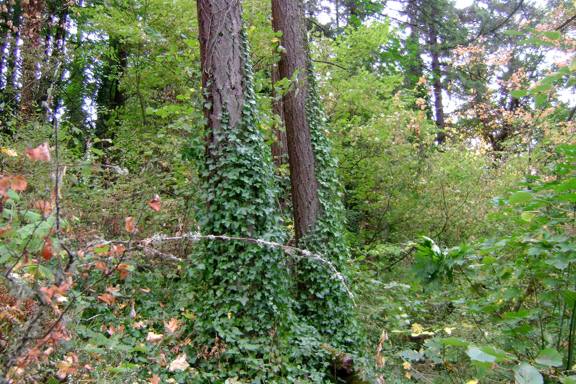 photo of invasive ivy on trees at Hummingbird Hill