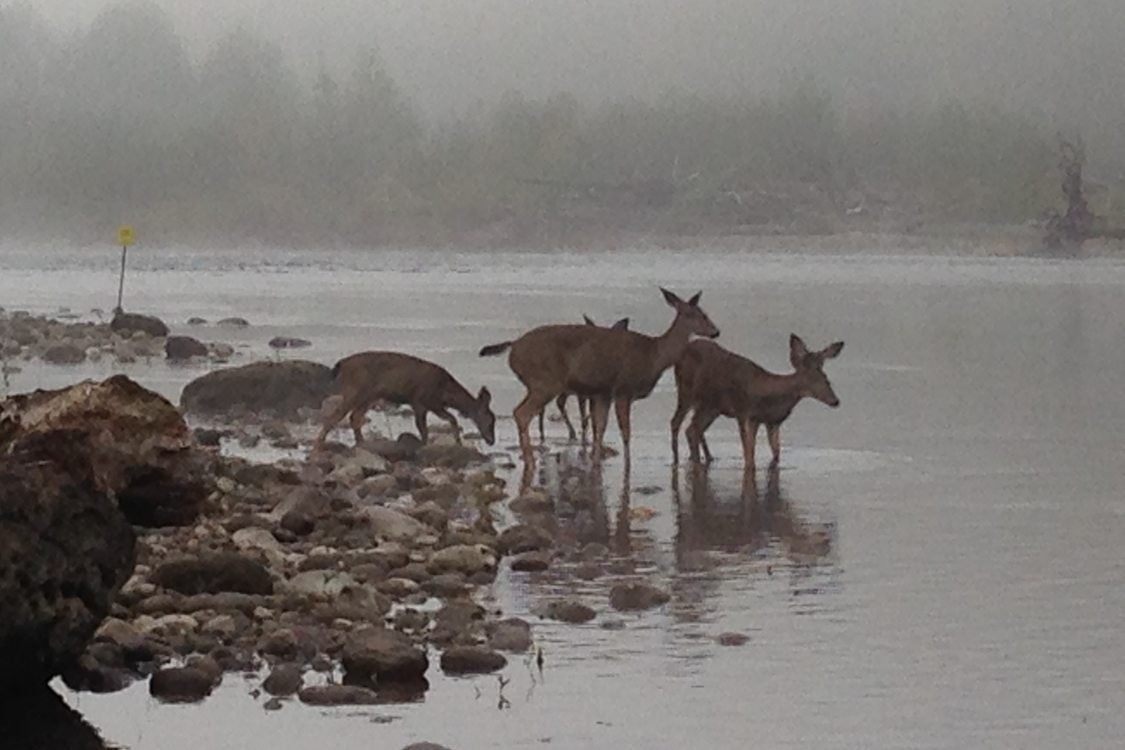 photo of deer wading in the river
