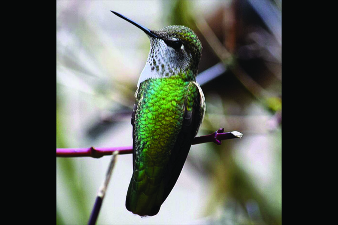 photo of Anna's hummingbird