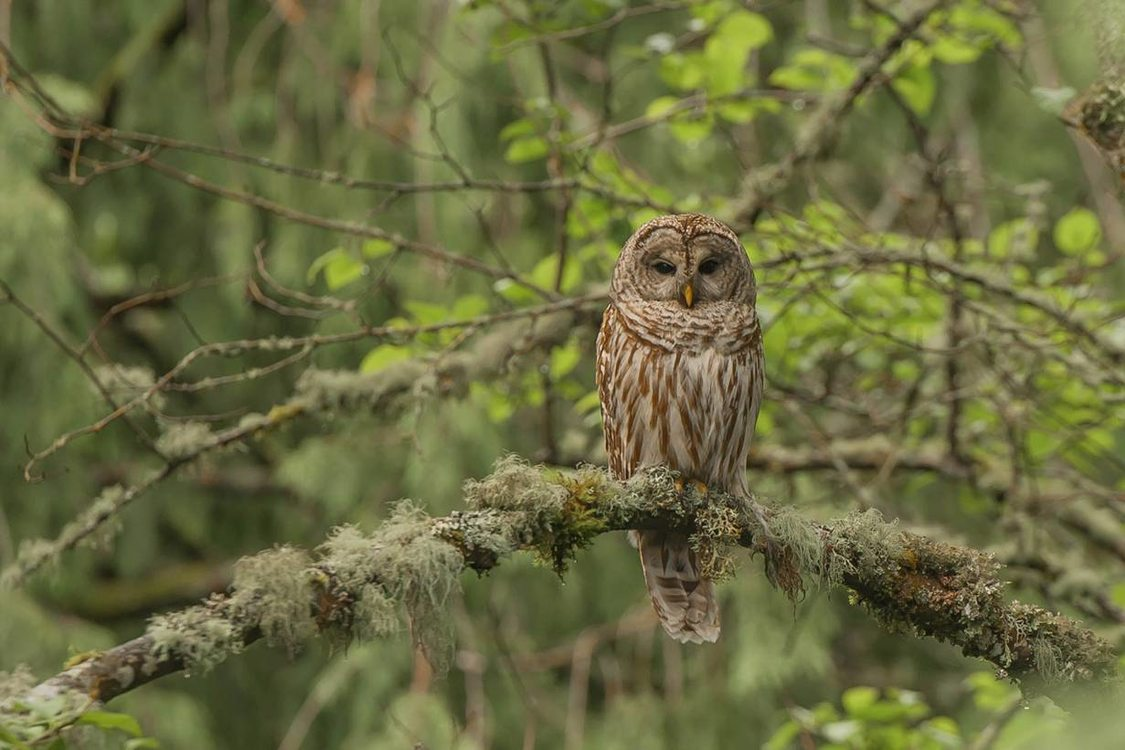 photo of owl at Tryon Creek State Natural Area