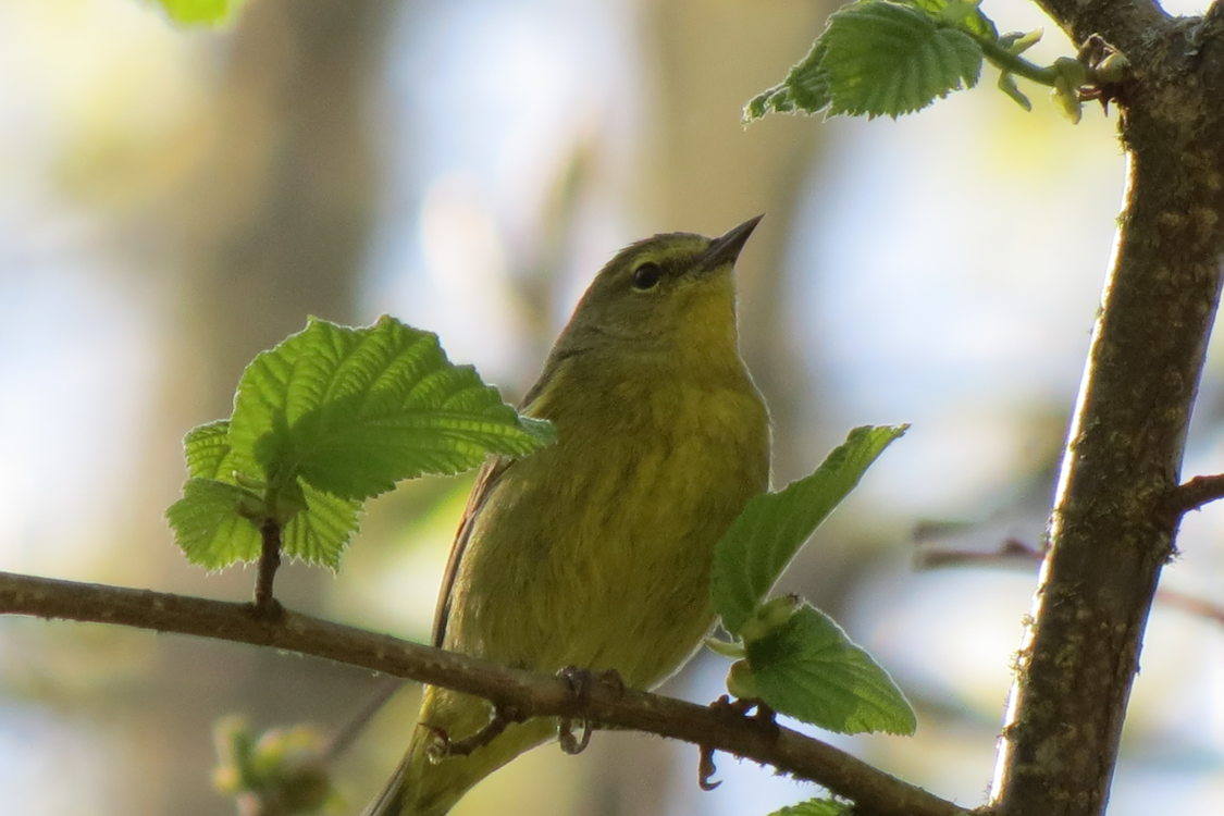 photo of orange-crowned warbler at Gabbert Butte
