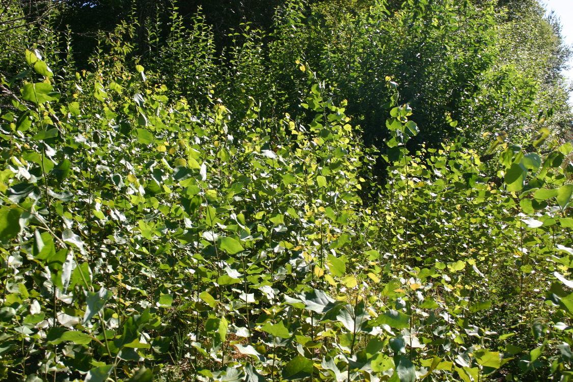 photos of aspen at Killin Wetlands