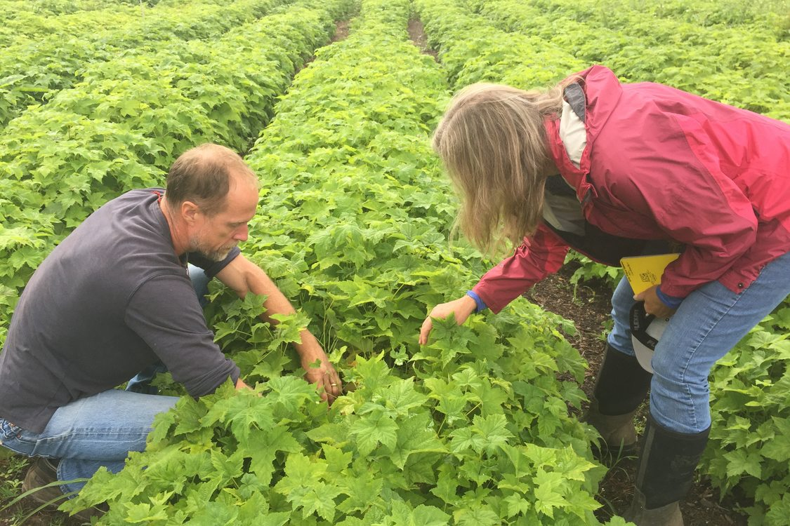 photo of thimbleberry crop