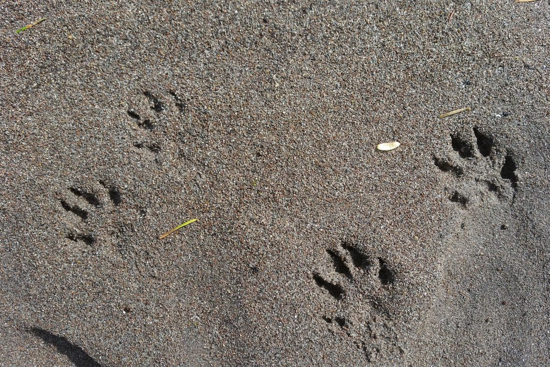 photo of mink tracks
