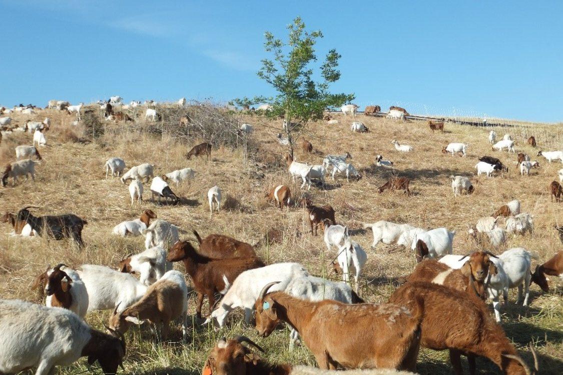 Goats graze at St. John's Landfill