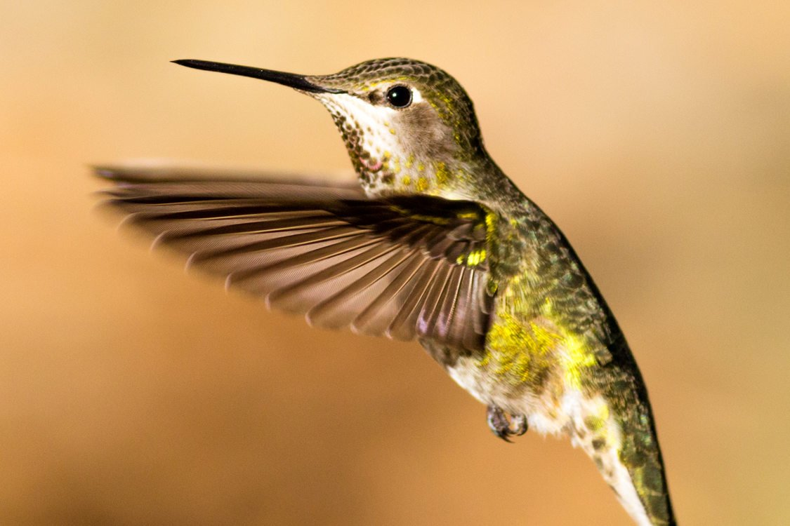 photo of Anna's hummingbird at Jackson Bottom Wetlands