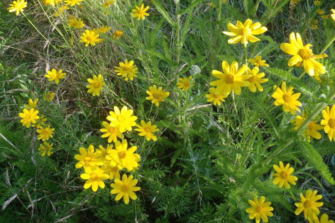 a closeup photo of yellow wildflowers
