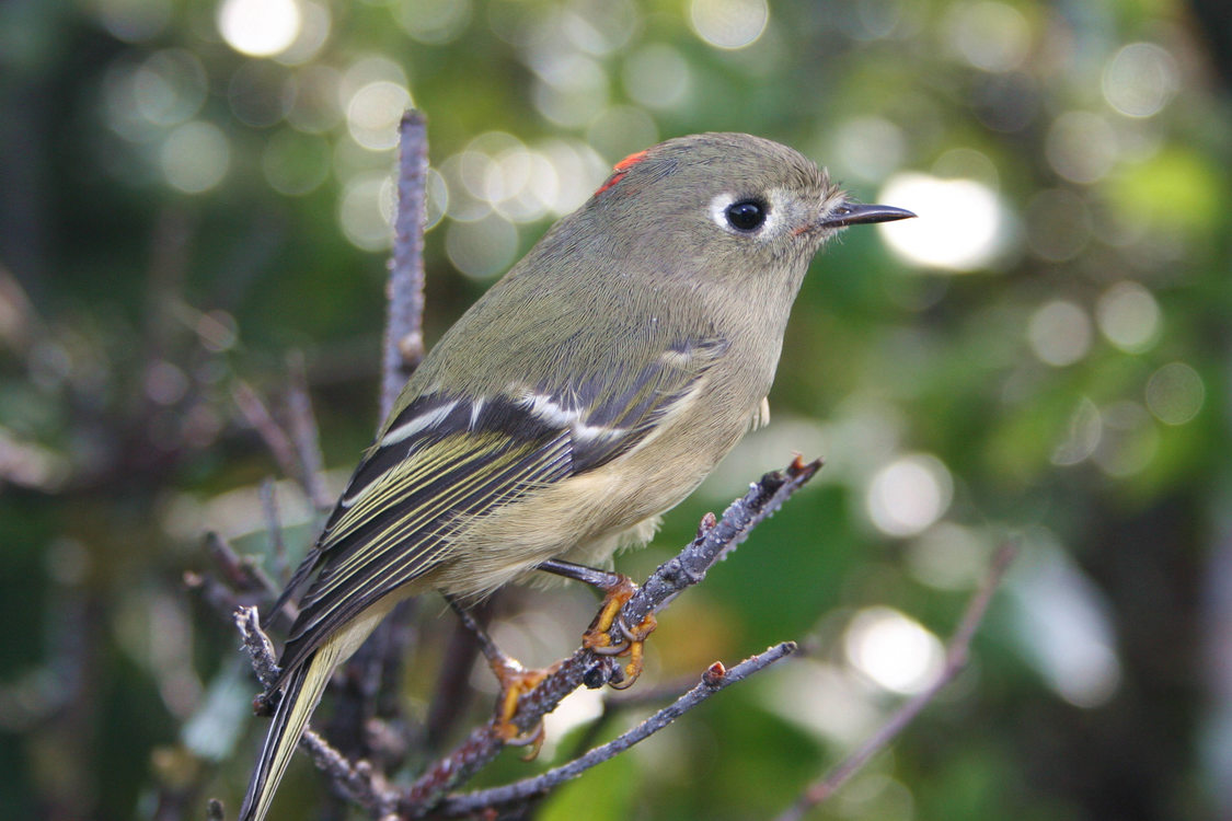 photo of ruby-crowned kinglet