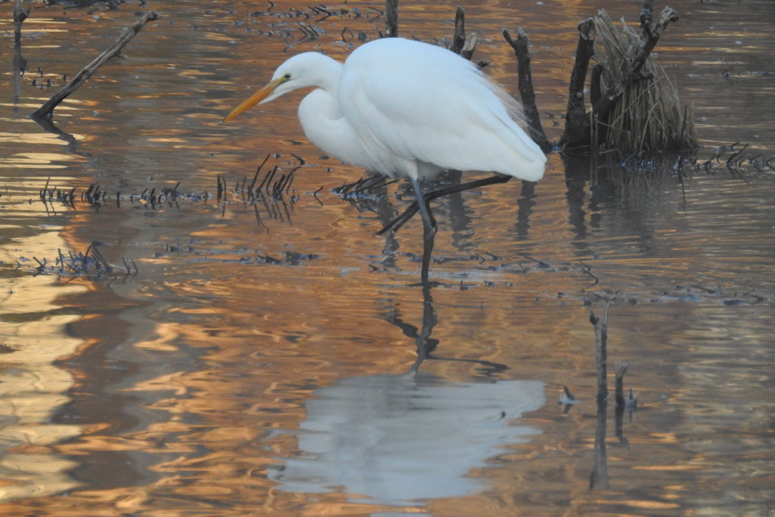 photo of snowy egret at Center Street Park
