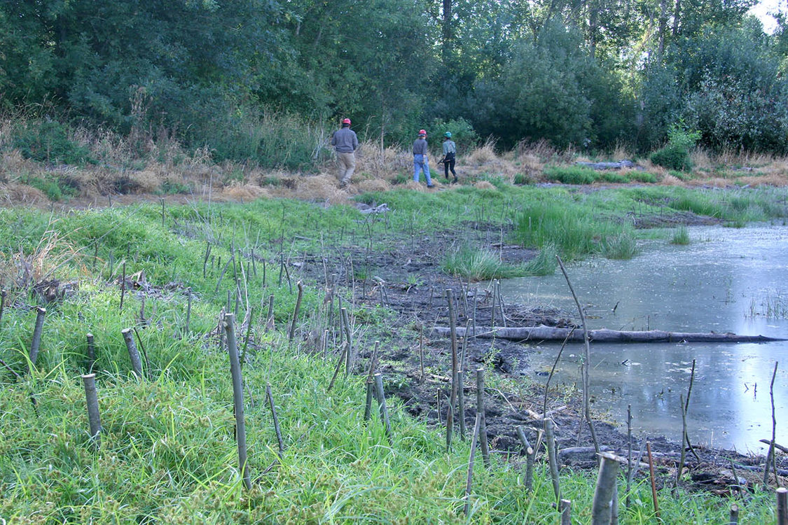 work crew walking near trimmings from nearby willow trees they have planted along the bank of Ramsey Lake in North Portland