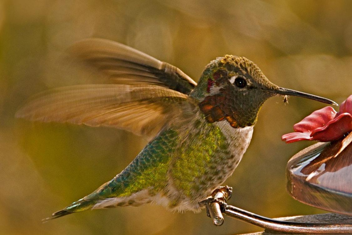 Photo Of Annau0026#039;s Hummingbird By Anne Clare