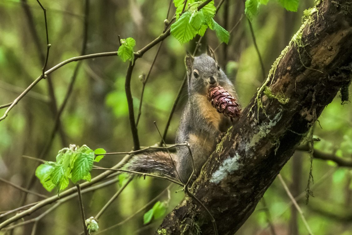Photo Of Douglas Squirrel At Graham Oaks Nature Park By Rick Hafele