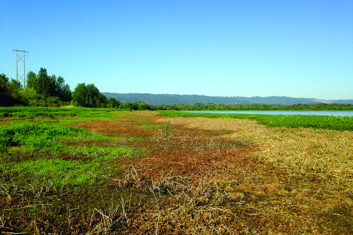 photo of effects of ludwigia treatment at Smith and Bybee Wetlands
